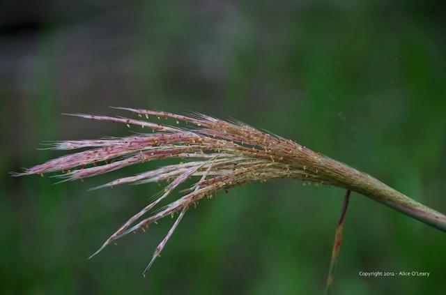 Grasses-2012 (1)