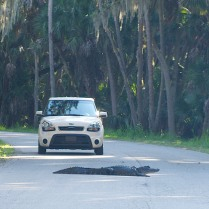 Alligator in road at Myakka River State Park