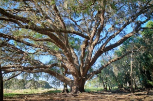 Live Oak near Alligator Point