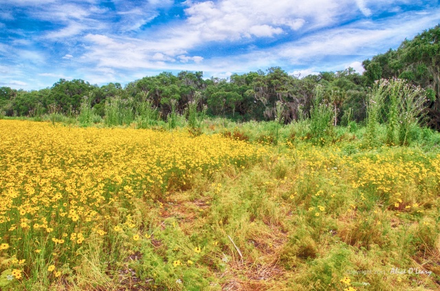 A stupendous year for wildflowers at Myakka River State Park.  Florida Tickseed and purple thistle are just everywhere.