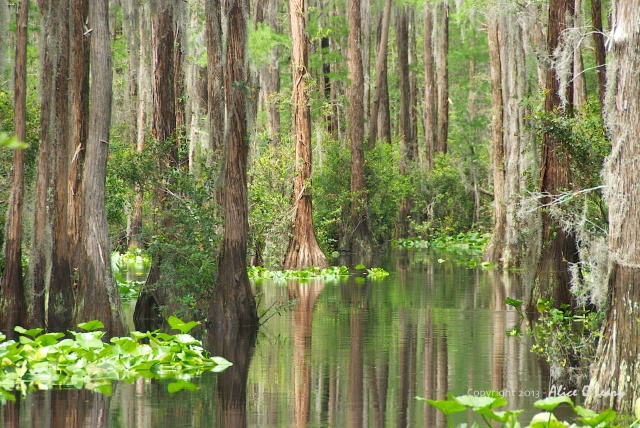 The Okefenokee Swamp in Georgia, USA 621 plant species, 50 mammal species, 64 reptile species, 37 amphibian species, 39 fish species, 233 bird species,  and insect species - more than anyone has been able to count.