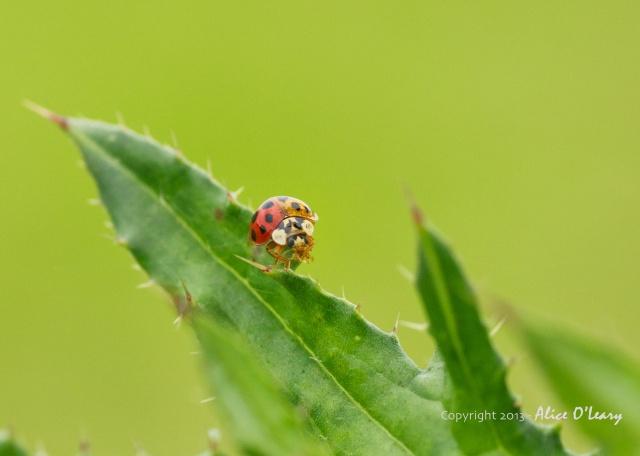 Two-tone lady bug (1)