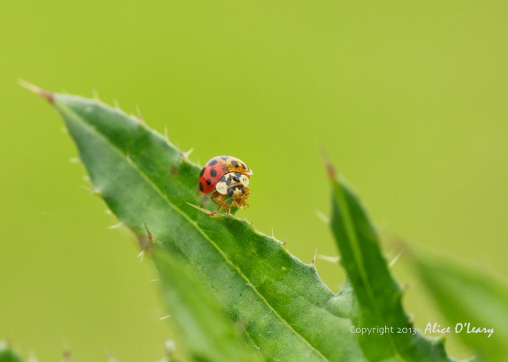 Two-tone lady bug (1)