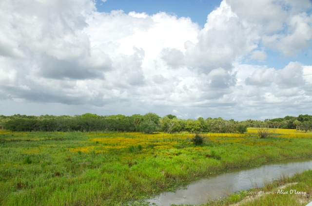 More of the stupendous season of wildflowers at Myakka River State Park. This shot is just off the highway, where the river narrows into a serpentine flow.  Yellow tickseed flowers are as far as the eye can see.☙