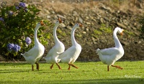 Geese in Ireland