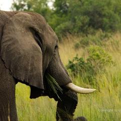 Elephant in Uganda