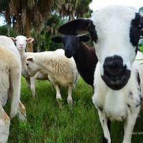 Sheep at King Farm in Bradenton, FL