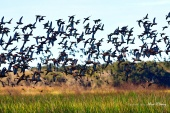 Blue teal ducks on wing