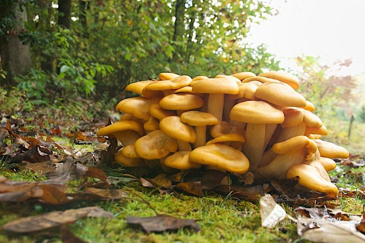 Unidentified mushrooms, possibly Velvet Foot.
