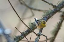 Non-breeding American Goldfinch