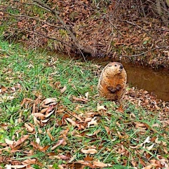 Groundhog at West Macon Track in Franklin, NC