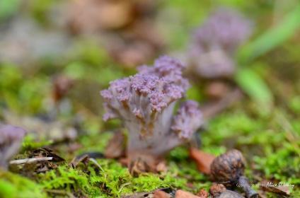 Violet-branched Coral