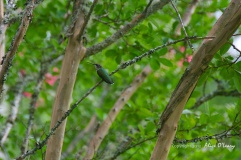 Hummingbird on a Carolina Crepe Myrtle