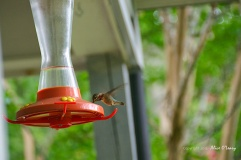 Juvenile Ruby-throated Hummingbird at Feeder