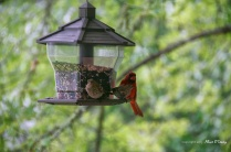 Two finches and a male red cardinal vie for space.