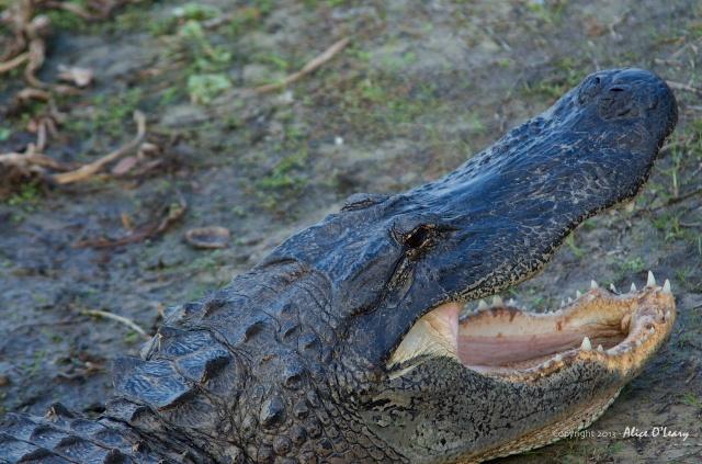 Alligator at Myakka River State Park