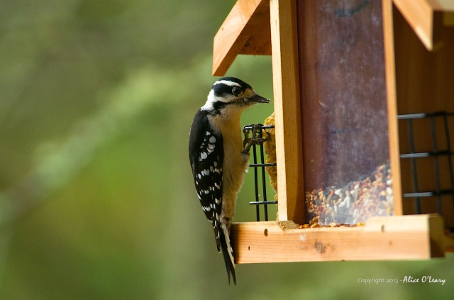 Downy Woodpecker  (Picoides pubescents)