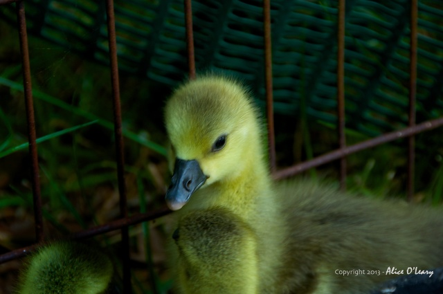 Toulouse goose (gosling)