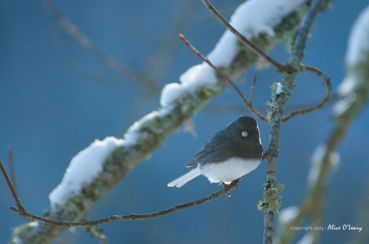 Dark-eyed Junco (Junco hyemalis) - Slate colored