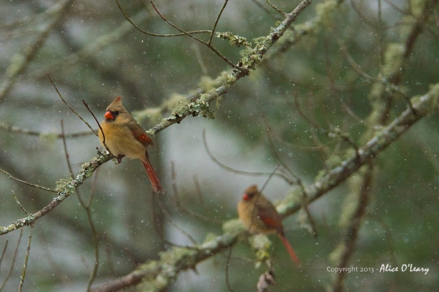 Two female Northern Cardinals (Cardinalis cardinalis)