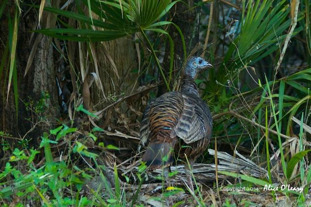 Wild Turkey (Meleagris gallopavo