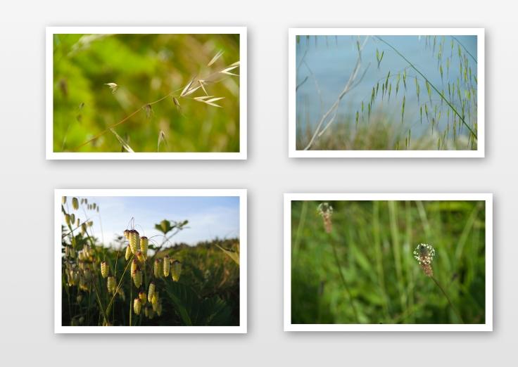 Humboldt grass