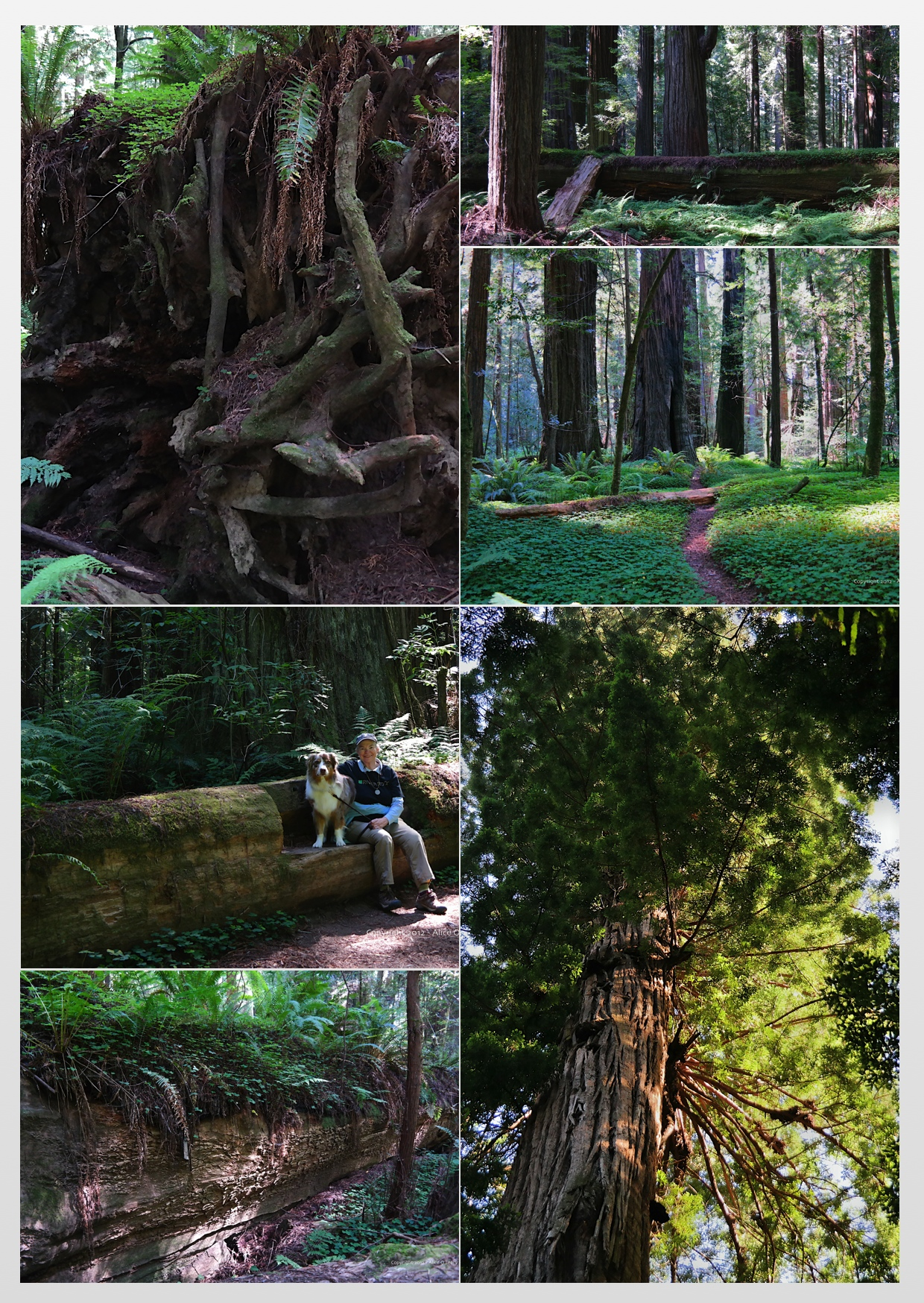 Redwood Collage