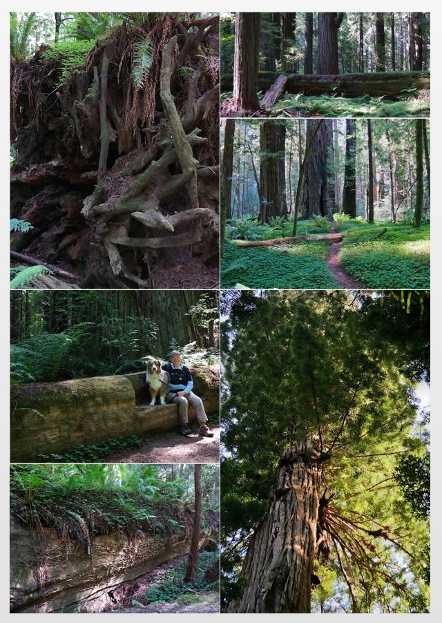 Redwood Collage
