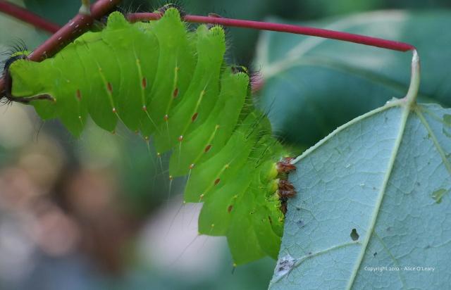 Mature larva of the Polyphemus moth