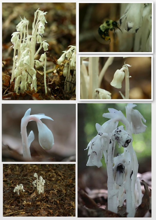 Indian Pipe collage