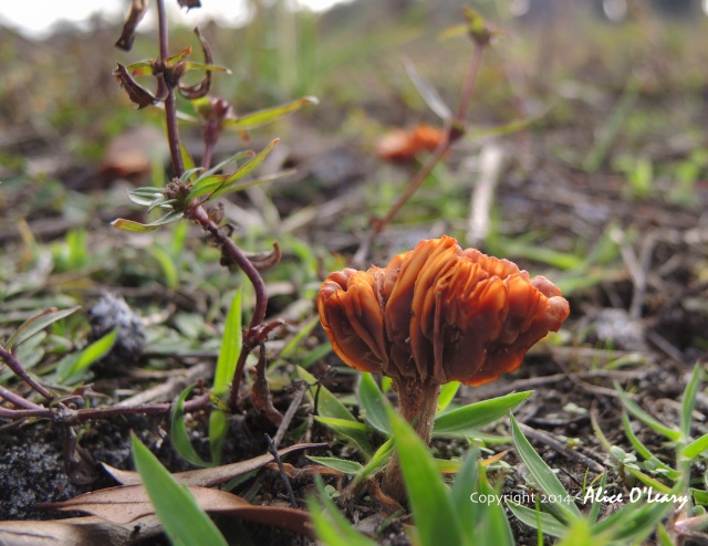 Fragrant chanterelle (Craterellus odoratus) in cow pasture.  Sarasota, Florida