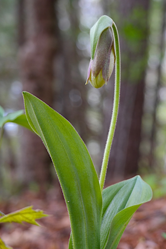 A Lady Slipper prepares to bloom.