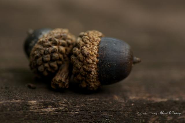 Twin acorn
