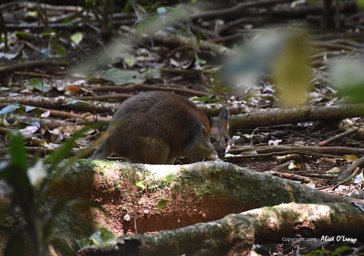 Red legged pademelon